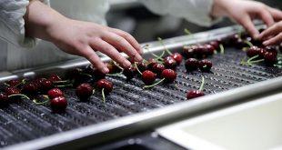 新华社照片,莫斯塔萨尔(智利),2017年11月29日     (新华视界)(2)一颗智利樱桃的中国之旅     11月28日,在智利莫斯塔萨尔市,加尔塞斯农产品公司的工人在流水线上分拣樱桃。     28日,在智利最大的樱桃生产和出口企业——加尔塞斯农产品公司,成千上万箱樱桃整装待发,准备出口中国。该公司董事长埃尔南·加尔塞斯说,该公司生产的樱桃有82%销往中国。如今,中国已成为智利樱桃的最大市场,这个南美国家樱桃总产量的80%以上销往了中国。     新华社记者王沛摄