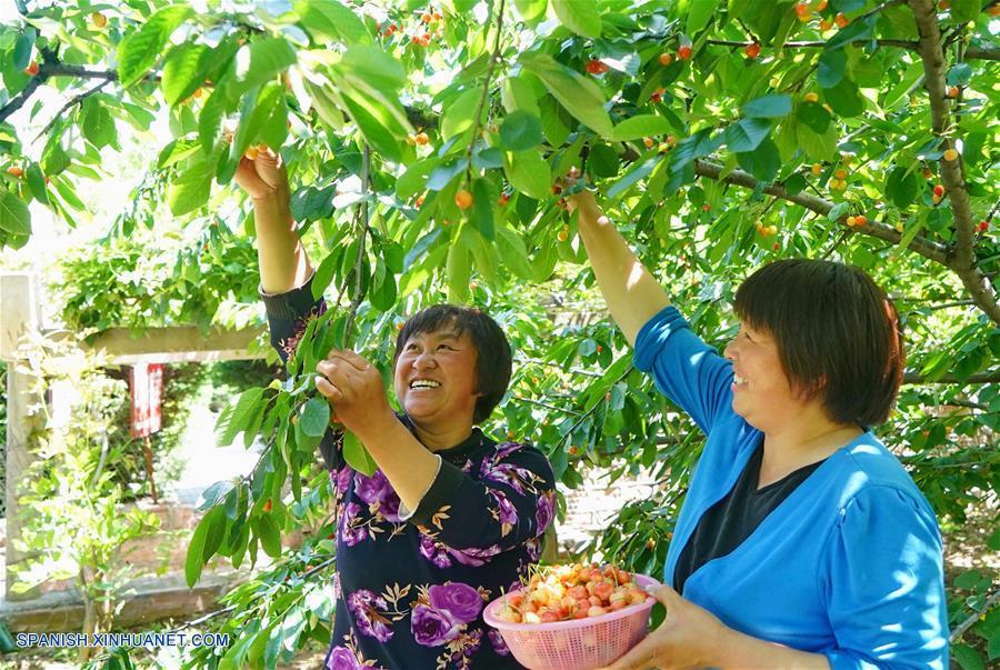 HEBEI, mayo 25, 2018 (Xinhua) -- Imagen del 23 de mayo de 2018 de personas recolactando cerezas en un jardín en la villa de Qiannanyu en el condado de Xingtai, provincia de Hebei, en el norte de China. Al mejorar el ambiente ecológico y desarrollar la industria verde, la villa de Qiannanyu se ha librado de la pobreza y ha mejorado la calidad de vida de sus habitantes. (Xinhua/Yang Shiyao)